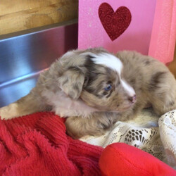Beauty/Australian Shepherd/Female/,This darling girl is ready to be shown off to your friends! Beauty is a gorgeous female puppy that wants to light up your life. will have a nose to tail vet check and arrive with a current health certificate. She will love running around town with you doing errands or snuggling at home to relax. Beauty is eager to find her forever home. Don't miss out on this spectacular companion.