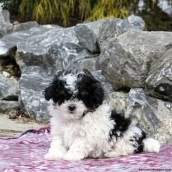 Bandit/Male /Male /Bich-poo Puppy