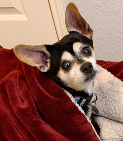Adopt a dog:Peanut/Chihuahua/Male/Senior,Peanut is a 9 year old, 13 lb Chihuahua mix that still has a lot of love to give.  Peanut had a perfectly happy life for most of his 9 years, until he lost both of his people.  One passed away and the other had to go to a senior care facility.  Humane Tomorrow promised we would find a great home for him.  It took just a little while, but he has adjusted very nicely to his foster home.  Peanut is a quiet and reliable companion.  He joins his foster mom in the office everyday and snuggles quietly in his blanket.  He's a Velcro dog and likes to be on a lap whenever possible.  He likes short walks, toys and chews, and never misses treat-time after meals. There are big dogs and small dogs in his foster home and he is fine with both.  He is housebroken, but he might have an accident if it's raining or freezing cold.  Peanut prefers not to venture out in bad weather...smart boy!