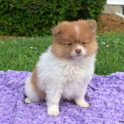 Cheerio/Male /Male /Pomeranian Puppy,Meet Cheerio, an adorable Pomeranian puppy who is being family raised and is socialized. This delightful fella is vet checked, up to date on shots and wormer plus the breeder provides a health guarantee for this puppy. To learn more about this friendly and playful pup, please call the breeder today!