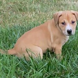 Adopt a dog:Morgan Texas/Labrador Retriever/Female/Baby,I am a sweet, playful loving girl who came from Texas. I love being here in Iowa. I spend the day cuddling and playing with my brother then I love playing in the yard when it the weather is nice. I am still just a small pup so I am not house trained yet but I do very well on paper training and I do potty when I get to play outside. I love to run and play with my brother and with my foster sisters who are pugs. I get very excited when my foster mama comes home and I love to get cuddles and give kisses. I like stuffed toys and playing tug of war and wresting with my brother. My foster mama thinks I will be medium sized when I am grown up.   If interested in meeting me, please apply at: AHeinz57.com